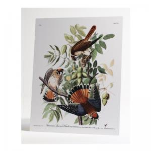 Audubon American Sparrow Hawk